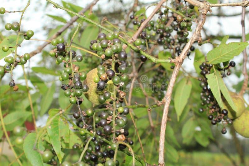 Lösa druvavinrankor som klamra sig fast intill ett träd för svart valnöt royaltyfria foton