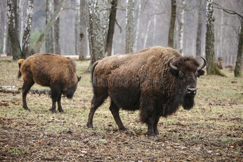 Lösa europeiska bisonar i skogen, reserv royaltyfria bilder