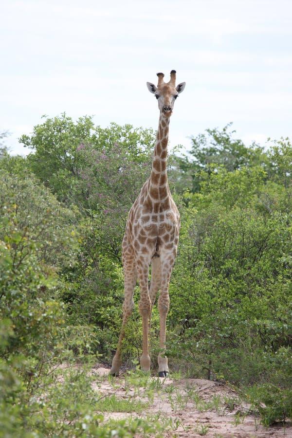 Lösa för Kenya för giraffafrica savannah camelopardalis Giraffa arkivfoton