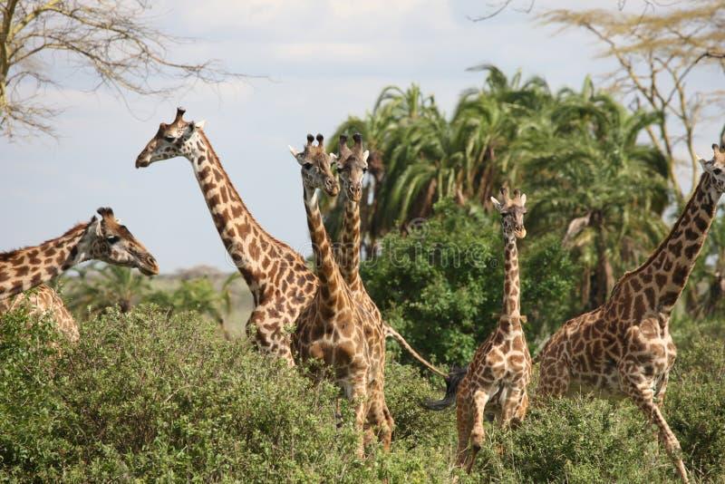 Lösa för Kenya för giraffafrica savannah camelopardalis Giraffa arkivbilder