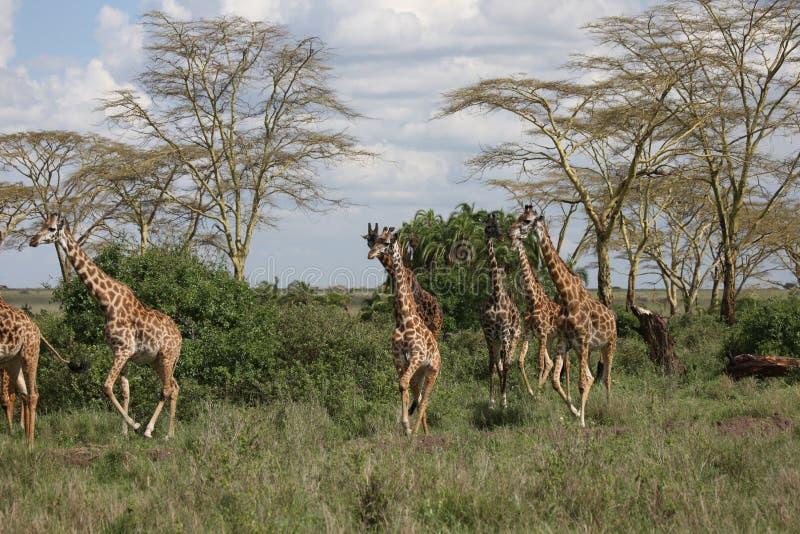 Lösa för Kenya för giraffafrica savannah camelopardalis Giraffa arkivbild