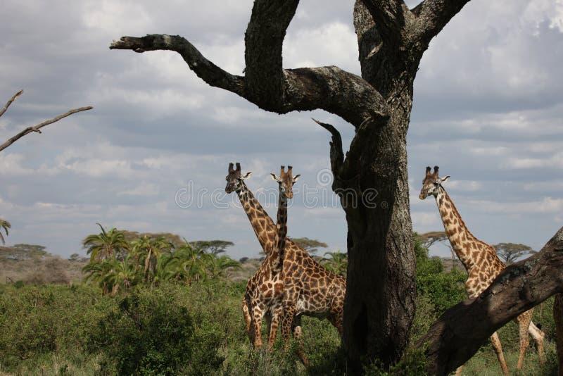 Lösa för Kenya för giraffafrica savannah camelopardalis Giraffa royaltyfri foto
