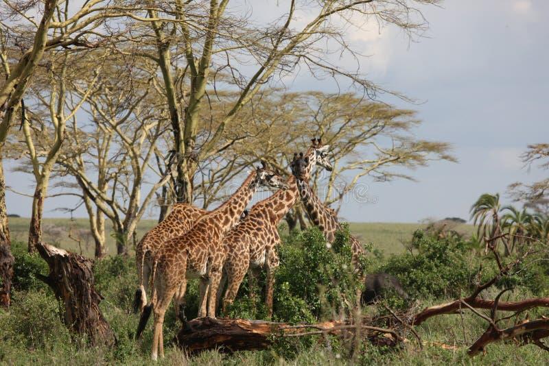 Lösa för Kenya för giraffafrica savannah camelopardalis Giraffa arkivfoto