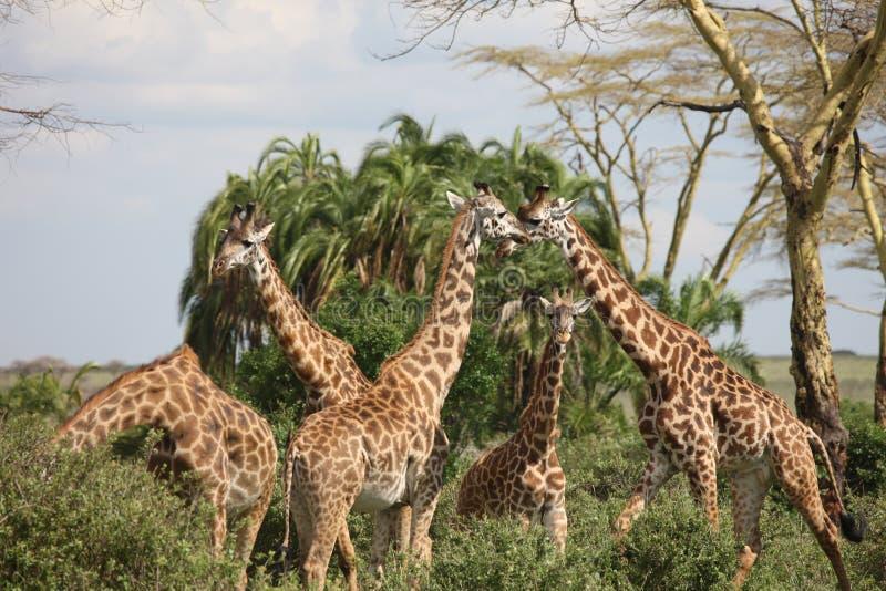 Lösa för Kenya för giraffafrica savannah camelopardalis Giraffa royaltyfri bild