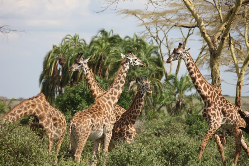 Lösa för Kenya för giraffafrica savannah camelopardalis Giraffa royaltyfria bilder