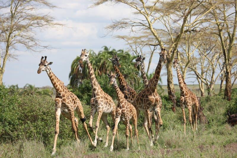 Lösa för Kenya för giraffafrica savannah camelopardalis Giraffa royaltyfria foton