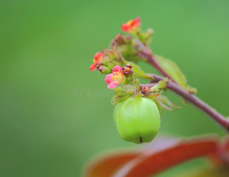 Lösa fruktväxter, naturlig grön bakgrund fotografering för bildbyråer