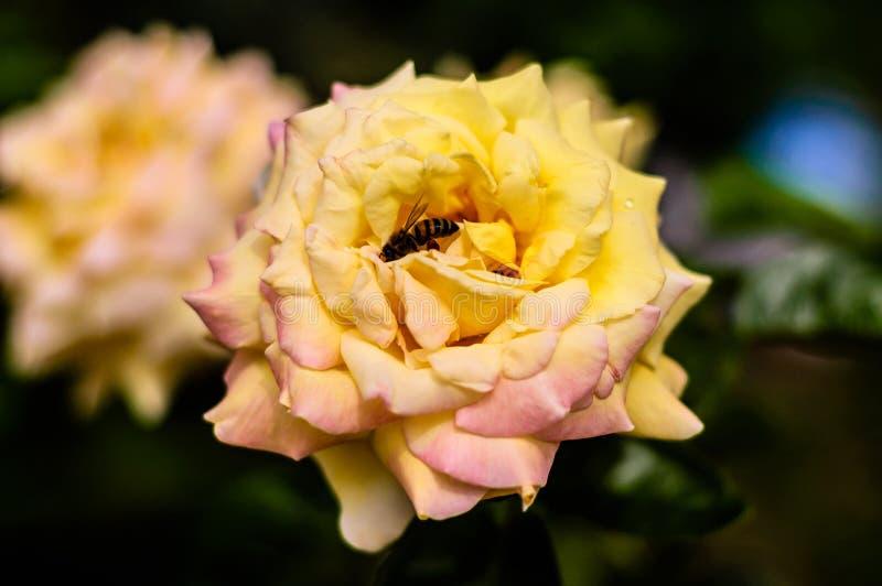 Lösa gula Rose With ett bi i det fotografering för bildbyråer