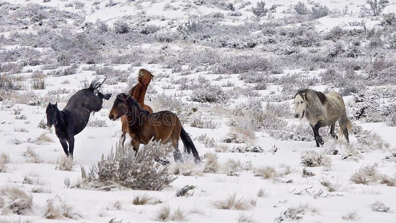 Lösa hingstföl (häst) i snön på vintertid i Australien royaltyfri fotografi