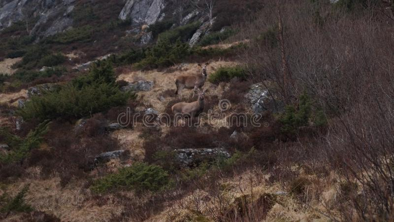 Lösa hjortar i en naturlig miljö fotografering för bildbyråer