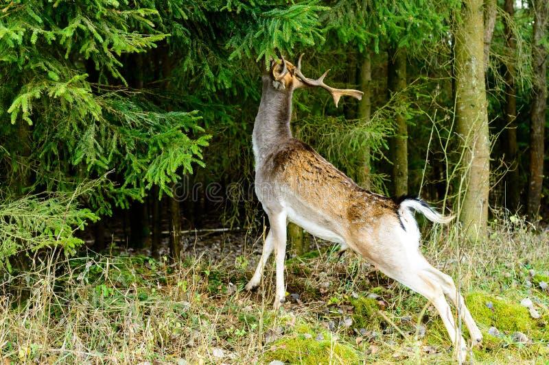 Lösa hjortar som äter sidor royaltyfri fotografi