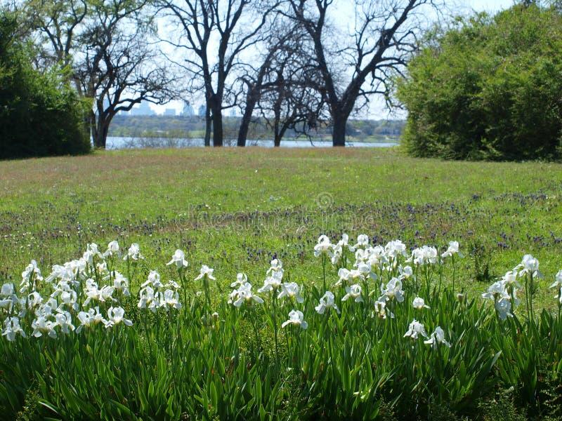 Lösa Iris Blooms i en hög äng royaltyfria foton