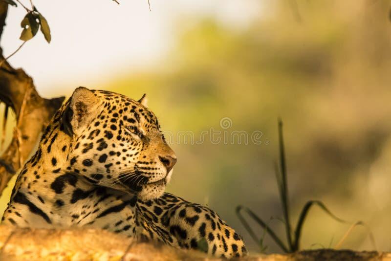 Lösa Jaguar som vilar profilcloseupen arkivfoton