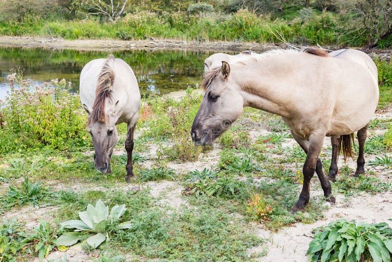 Lösa Konik hästar nära en liten sjö parkerar in Meijendel, Nederländerna royaltyfri bild