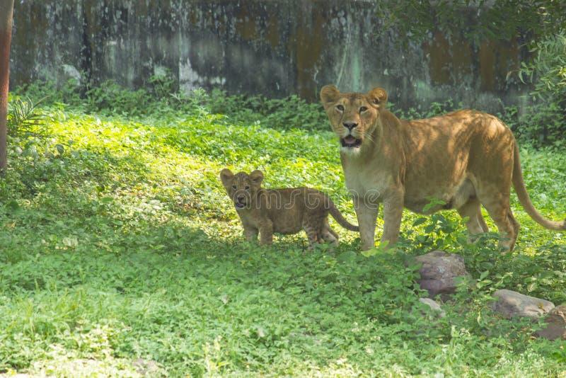 Lösa lejoninna och gröngöling royaltyfria foton