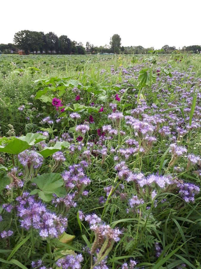 Lösa lila blommor på en holländsk äng royaltyfri foto