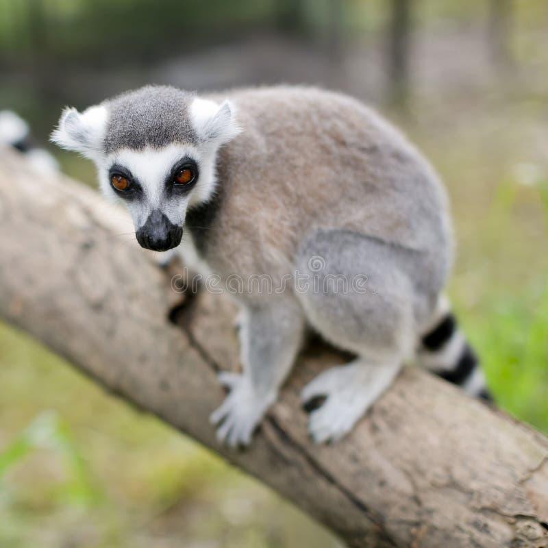 Lösa meerkats (aka suricates), Karoo, Sydafrika royaltyfri fotografi
