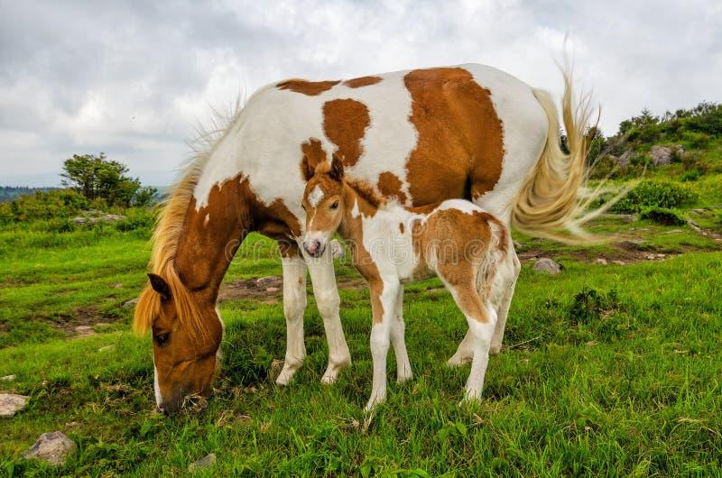 Lösa ponnyer, Grayson Highlands, Virginia royaltyfri foto