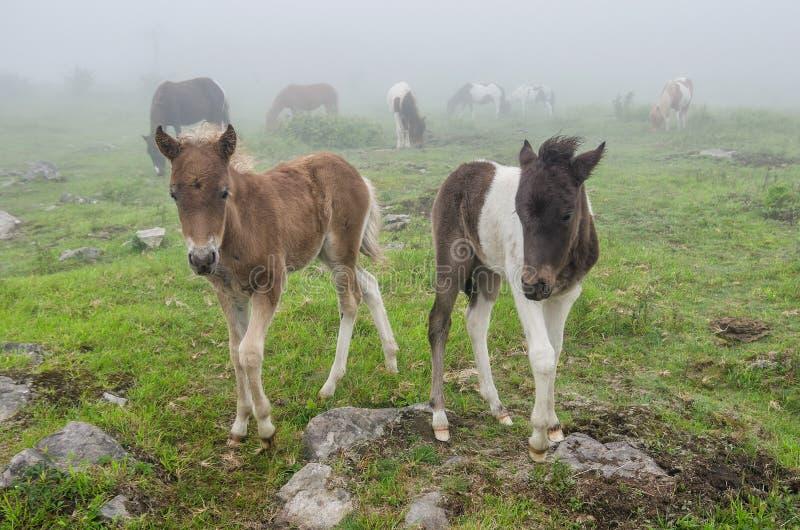 Lösa ponnyer, Grayson Highlands, Virginia arkivbilder