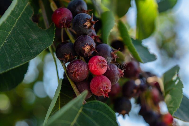 Lösa röda och svarta bär som växer på filialen i skogen arkivfoton