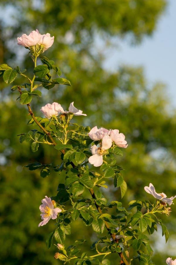 Lösa rosa Rosa Canina buske arkivfoto