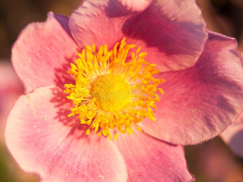 Lösa rosa färger stänger sig upp den lösa rosa Rosa för makroen caninaen arkivfoton