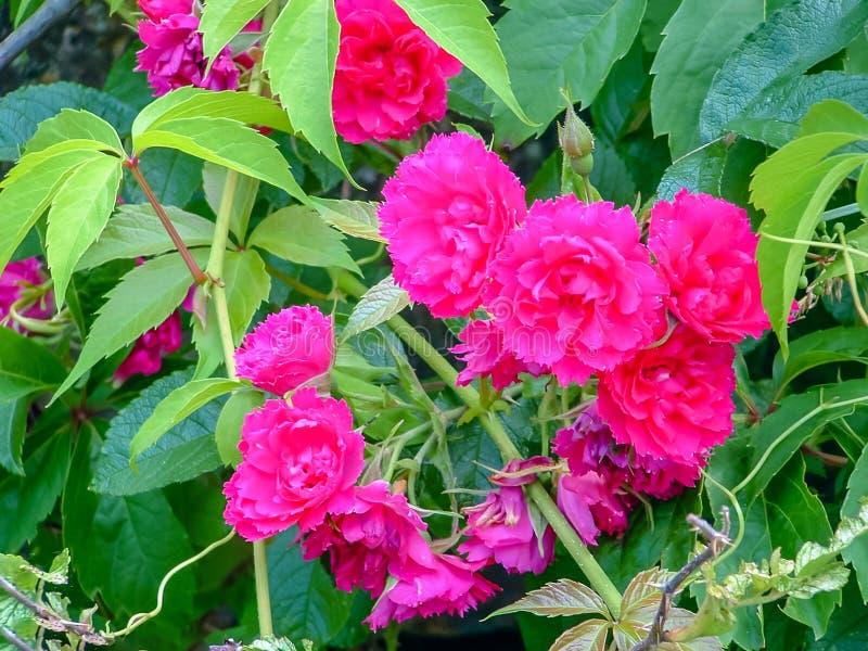 Lösa rosor av uddeBreton Baddeck NS arkivfoto