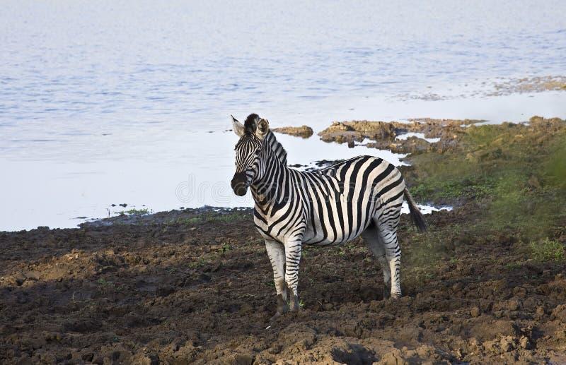 Lösa sebror i flodstranden, Kruger nationalpark, Sydafrika fotografering för bildbyråer