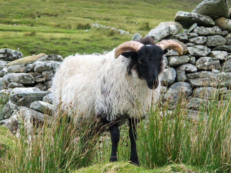 Lösa svarta hövdade får på sidan av ett berg royaltyfri fotografi