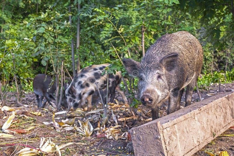 Lösa svin i den offentliga skogbilagan hålls för reproduktion och följande frigörare in i det löst royaltyfri fotografi