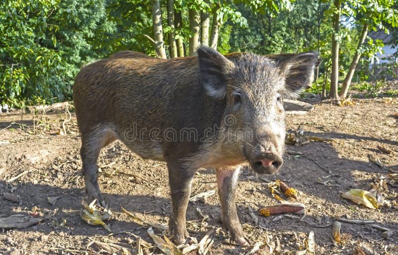 Lösa svin i den offentliga skogbilagan hålls för reproduktion och följande frigörare in i det löst royaltyfri bild