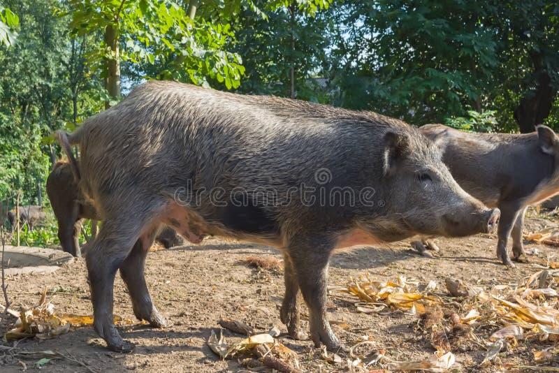 Lösa svin i den offentliga skogbilagan hålls för reproduktion och följande frigörare in i det löst royaltyfri foto