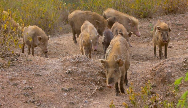 Lösa svin i Indien arkivfoton
