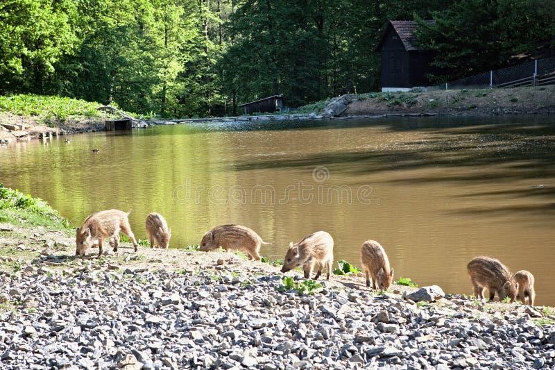 Lösa svin i naturreserv arkivfoton