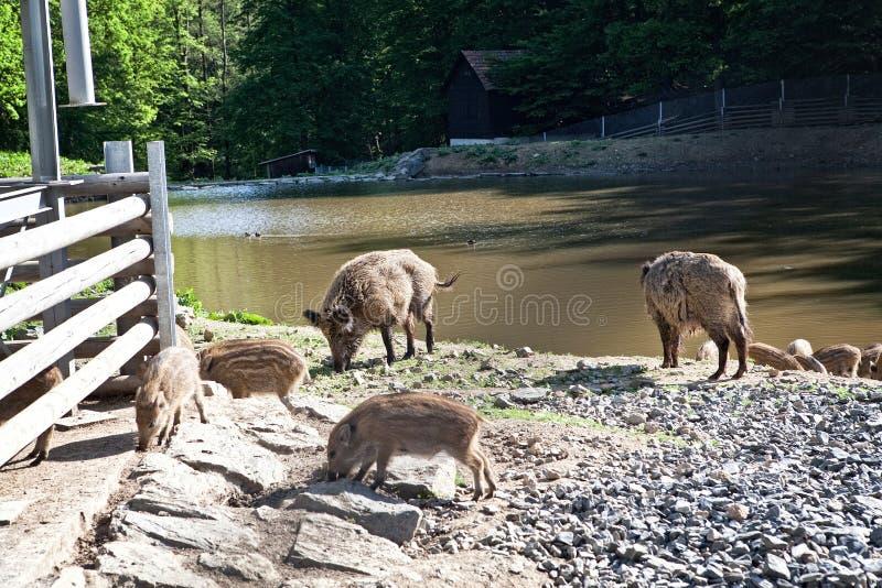 Lösa svin i naturreserv royaltyfri fotografi