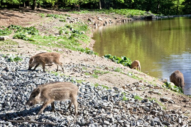 Lösa svin i naturreserv royaltyfri foto