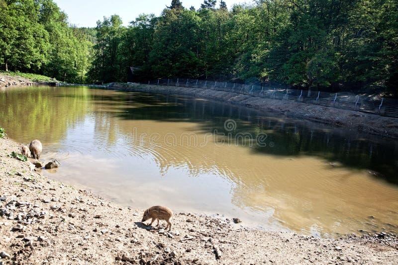 Lösa svin i naturreserv fotografering för bildbyråer