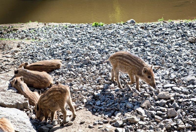 Lösa svin i naturreserv arkivbilder