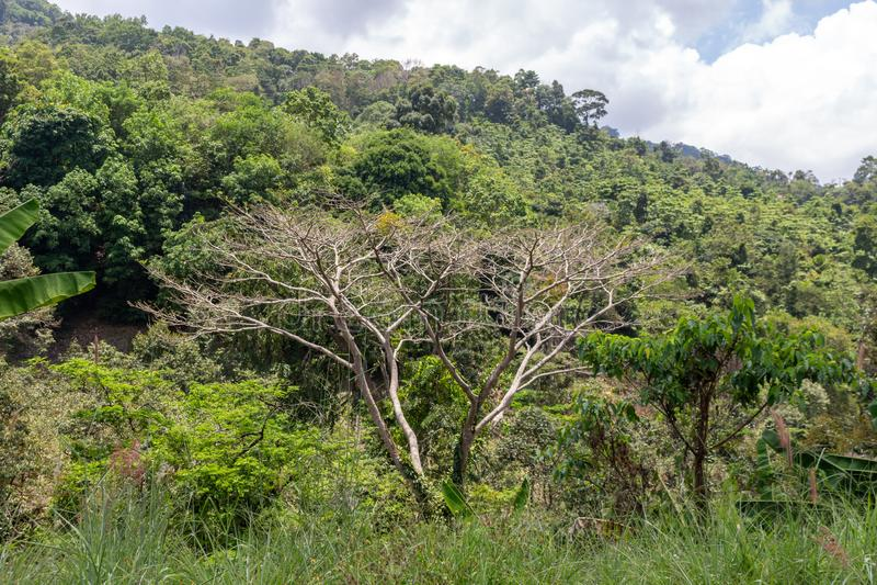 Lösa träd Thailand för Koh Samui djungel royaltyfri foto