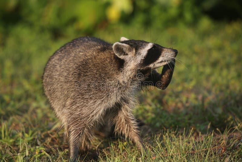 Lösa tvättbjörnar i sydliga Florida arkivfoton
