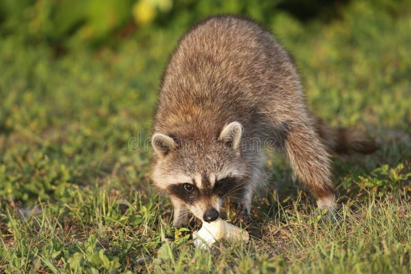 Lösa tvättbjörnar i sydliga Florida royaltyfri fotografi