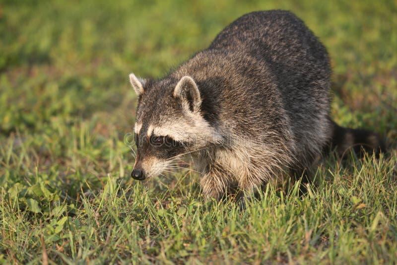 Lösa tvättbjörnar i sydliga Florida arkivbild