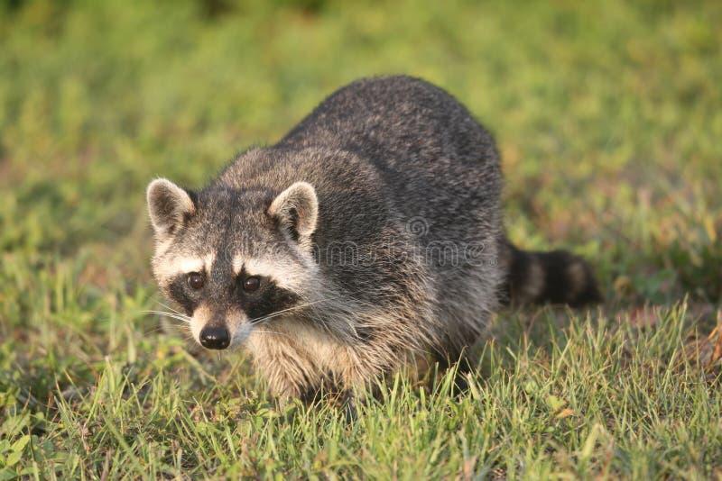 Lösa tvättbjörnar i sydliga Florida royaltyfria foton
