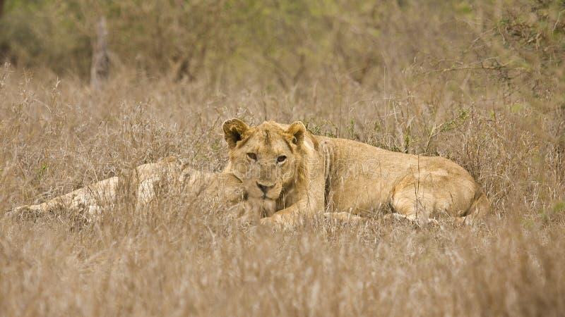 Lösa unga lejon som ligger i busken, Kruger, Sydafrika royaltyfri foto