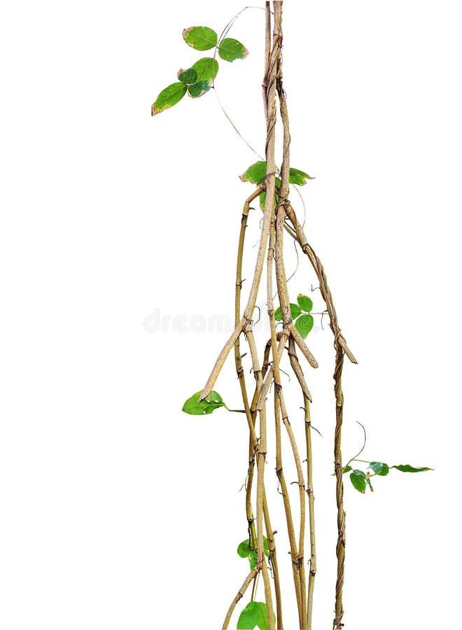 Lösa vinrankor, djungelvinrankor med små gröna bladvinrankor vred aro royaltyfria bilder