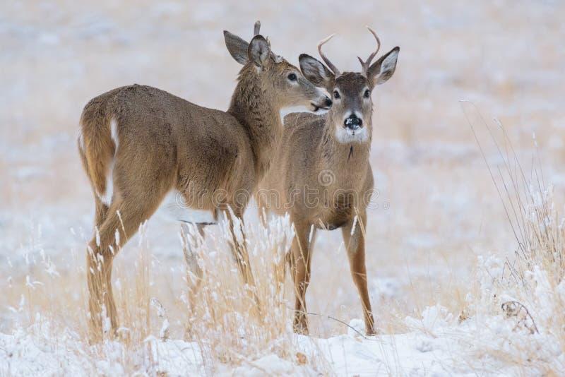 Lösa Vit-tailed hjortar på de höga slättarna av Colorado arkivfoto
