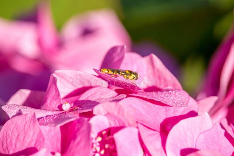 Lösen Sie zur Hortensie - Wespe auf Hortensieblume aus lizenzfreie stockfotos