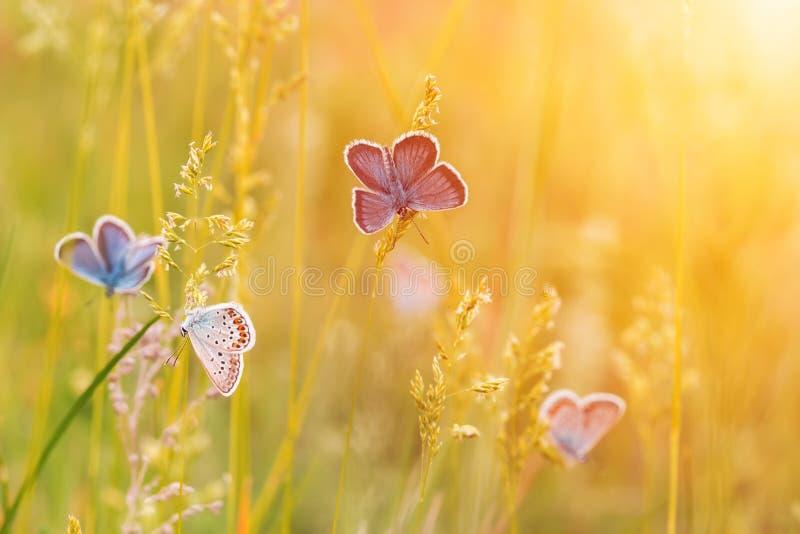 Löst änggräs och många fjärilar i naturmakroskott arkivbild