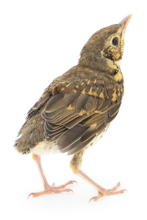Löst behandla som ett barn fågeln fotografering för bildbyråer