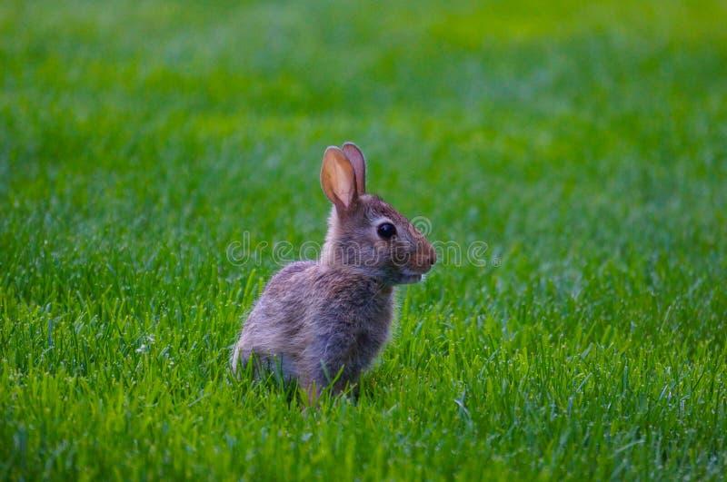 Löst behandla som ett barn kanin på grön gräsmatta royaltyfri foto